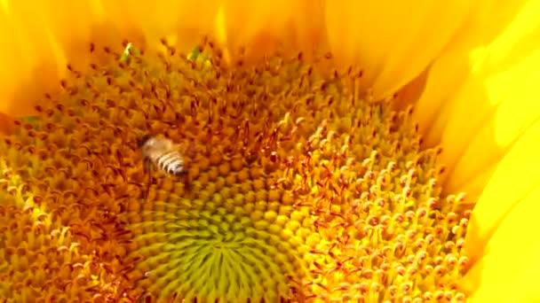 4K včela pracuje a sbírá pyl ze slunečnice na poli. Pole slunečnic. Slunečnice houpající se ve větru