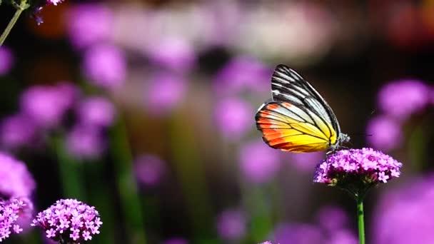 HD 1080p superlangsam 240 fps Thai-Schmetterling auf der Weide VERBENA BONARIENSIS Blumen Insekten Natur im Freien