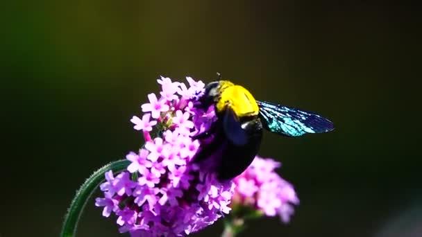 HD 1080p super pomalé letní květiny vážné, fialové květy Verbena bonariensis pole ve větru