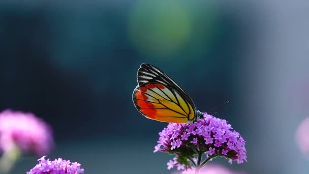 HD 1080p super slow 240 fps Thai butterfly in pasture VERBENA BONARIENSIS flowers Insect outdoor nature