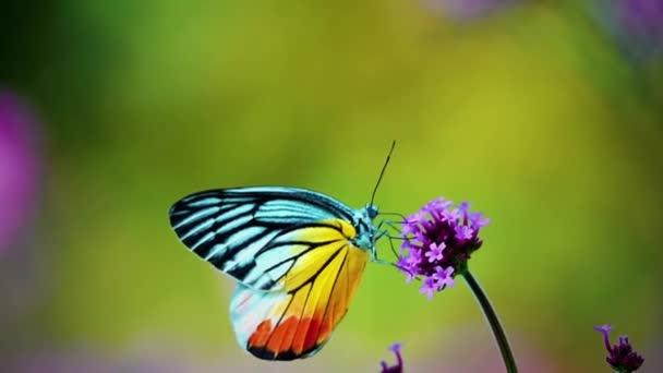 HD 1080p super pomalé 240 fps Thajský motýl na pastvině VERBENA BONARIENSIS květiny hmyz venkovní příroda