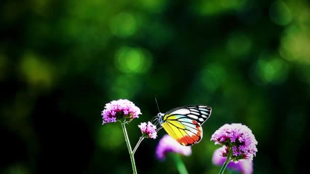 HD 1080p szuper lassú 240 fps thai pillangó legelőn VERBENA BONARIENSIS virágok Rovarok kültéri természet