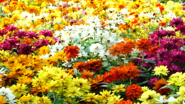 4K Garden flowers. Multi-colored blooming flowers in the yard or in the field.