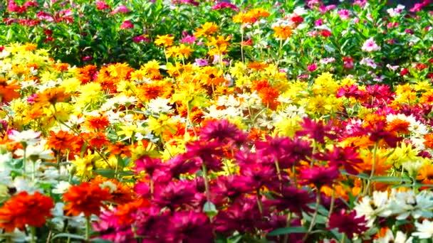 4K Zahradní květiny. Mnohobarevné kvetoucí květiny na dvoře nebo na poli.