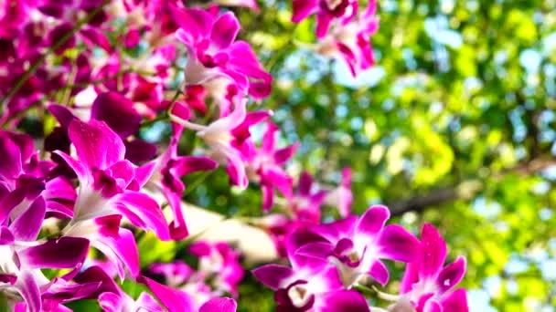 4K orchidej fialové květy kvetoucí a pohybující se v zahradě