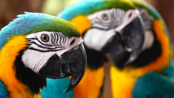 4K beautiful plumage of the blue-and-yellow macaw (Ara ararauna), the blue-and-gold macaw