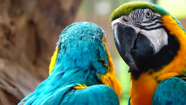 4K a kék-sárga arauna (Ara arararauna), a kék-arany arauna gyönyörű tollazata
