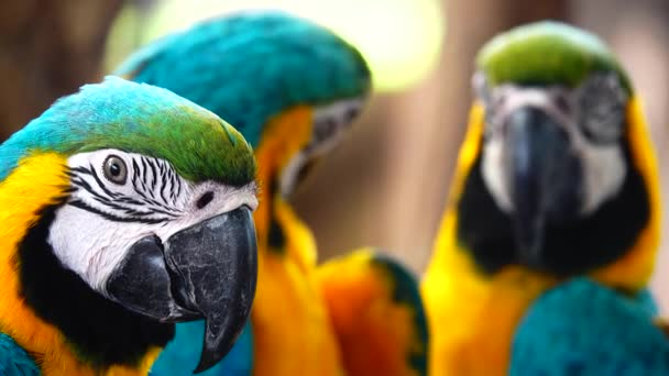 4K krásné peří z modro-žluté macaw (Ara arararauna), modro-zlaté macaw