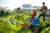 Photo Friendly team harvesting fresh vegetables from the rooftop greenhouse garden and planning harvest season on a digital tablet