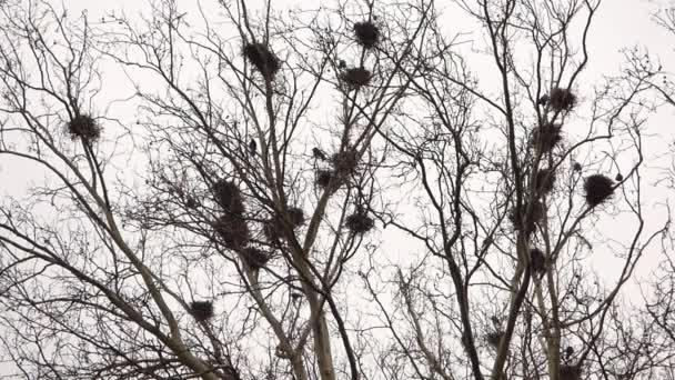 Varjú a fészek a fán
