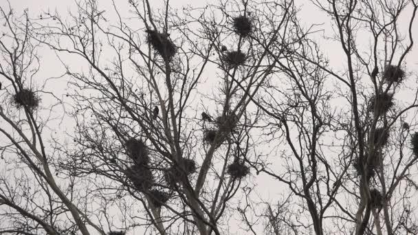 Vrány do hnízda na stromě