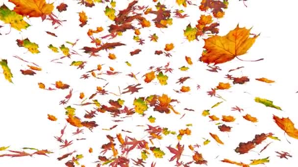 Flying colorful oak, sweet gum and maple leaves. Autumn, fall background. Isolated elements on white background. Slow motion, close-up HD realistic 3D animation.