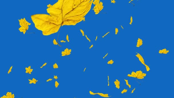 Close-up on falling golden maple leaves from the blue sky. Autumn, fall background. Slow motion, HD realistic 3D animation.