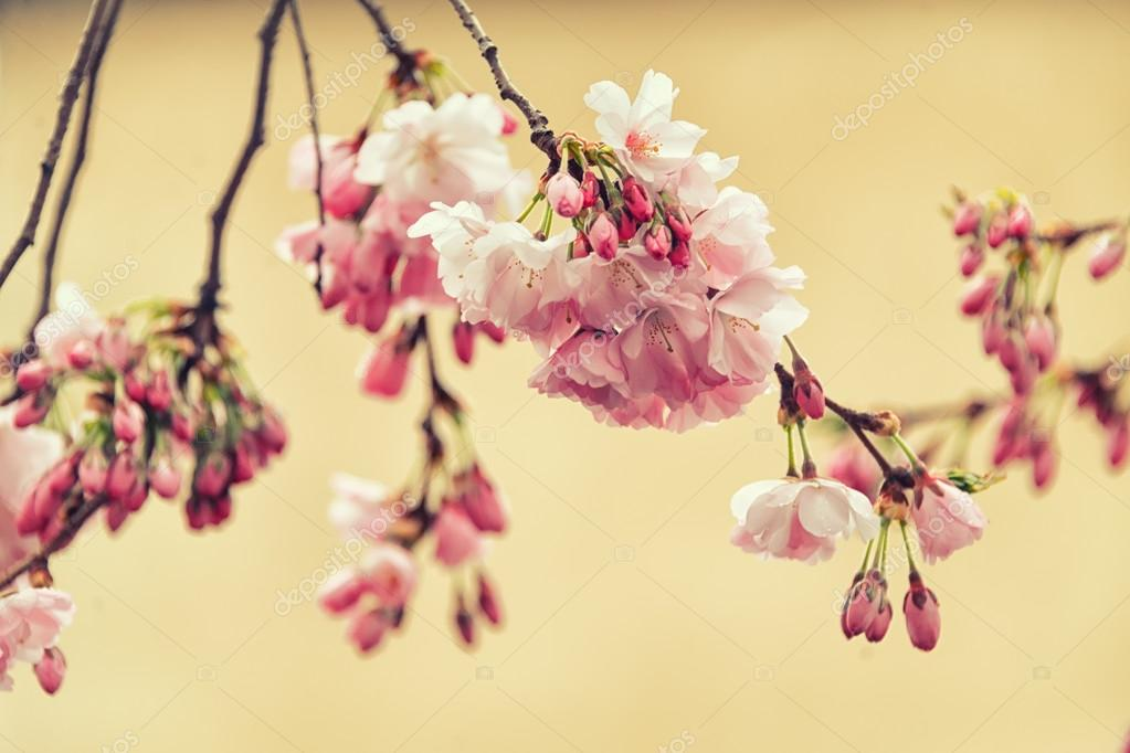 Beautiful flowering Japanese cherry - Sakura. Flowers on a spring day on soft background. Vintage color toned abstract nature background, instagram filter