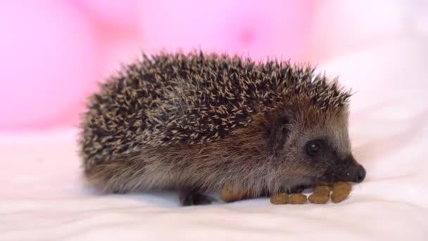 hedgehog eats. A small hedgehog eats food and dry food on a white background.