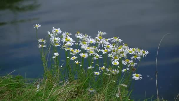 Field daisies by water. Wildflowers on shore of lake. Flowers on Sunny day.