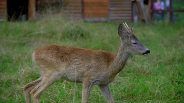 Gefleckte Hirsche fressen Gras. Ein Reh spaziert durch den Park. Ein DOE geht im Wald spazieren.