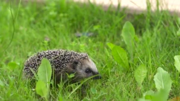 A sündisznó a fűben szaladgál. Egy vadállat a zöld pázsiton szabadon kószál..