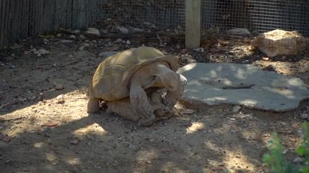 Riesenschildkröten paaren sich während der Schildkrötenzucht im Zoo. Zwei verliebte Schildkröten brüten auf dem Boden. Zwei lustige Tiere.