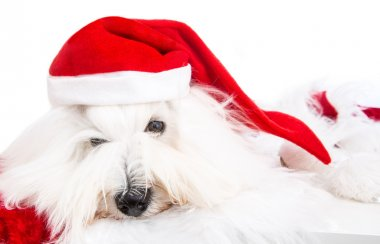 Cute isolated little baby dog wearing red santa hat for christma