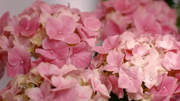 rózsaszín virág Hortenzia