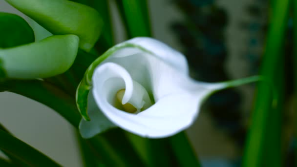 Calla Flower on a Background of Green Leaves