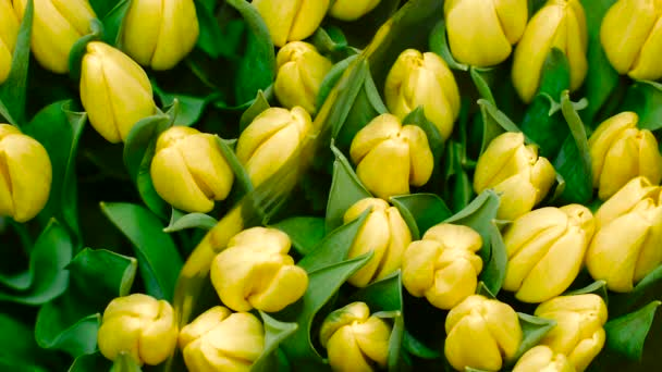 a Lot of Yellow Tulips Top View