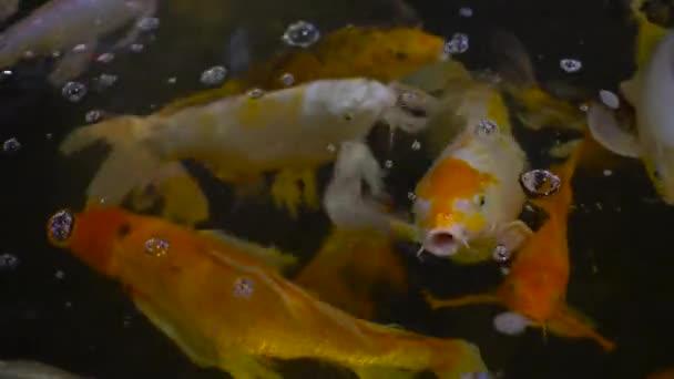 Mnoho ryb Koi kapry v rybníku 4k