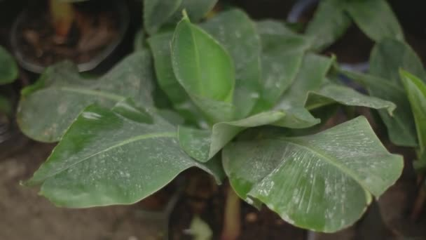 a small banana tree