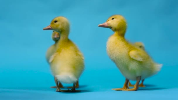 little duck on a blue background