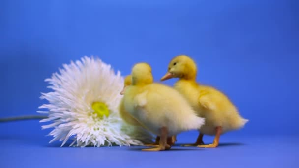 ducklings on a blue background with a flower