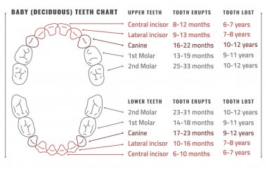 Teeth vector Infographic