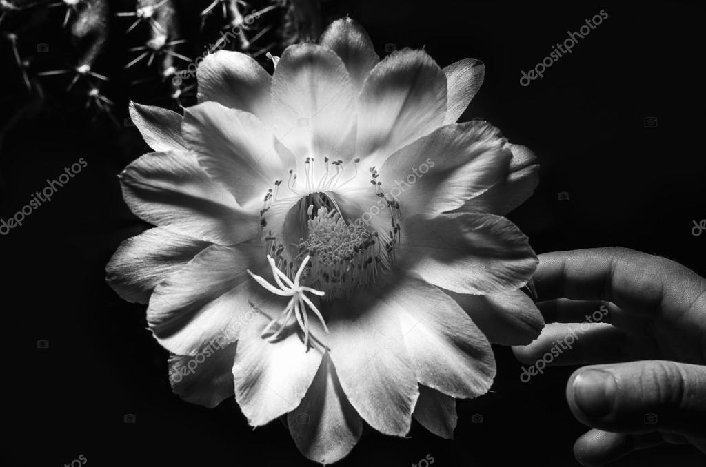 Echinops Kaktusblüte — Stockfoto © Allexander #123168116