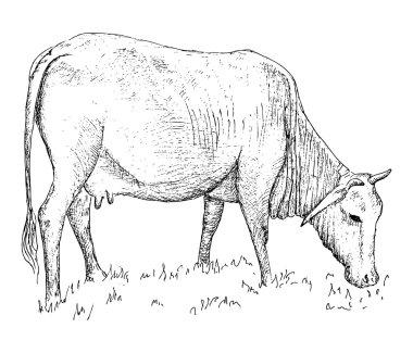 Vietnamese cow