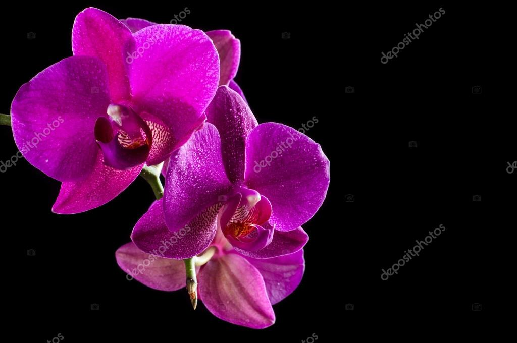Pink streaked orchid flower on a black background
