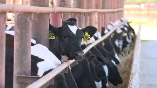 Mucche sul farm2