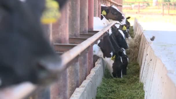 Krávy na farm6