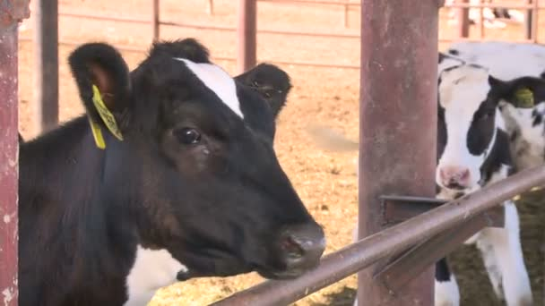 Mucche sul farm4
