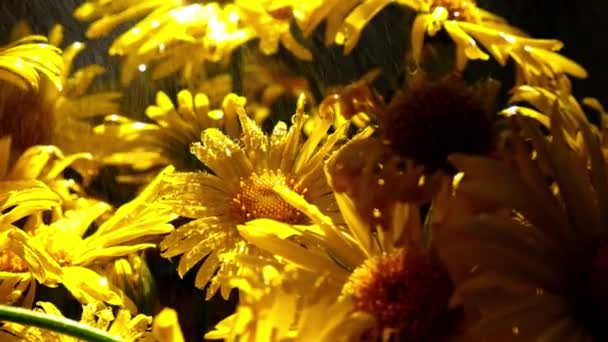 4k Blooming dandelions background. Yellow chamomile with water drops. Flower holiday background. Daisy flowers
