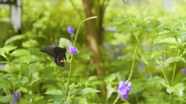 Ruby-skvrnitý vlaštovka nebo červeně skvrnitý vlaštovka (Papilio anchisiades), černý motýl s růžovými skvrnami na fialovém květu v krásné zahradě v Medellin, Kolumbie