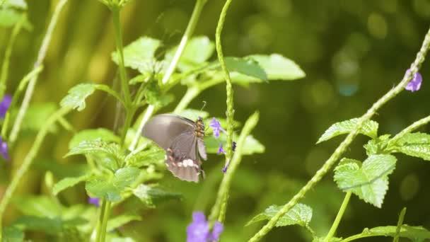 A Ruby-foltos fecskefarkú vagy piros foltos fecskefarkú (Papilio anchisiades), Fekete pillangó rózsaszín foltok egy lila virág egy gyönyörű kert Medellin, Kolumbia