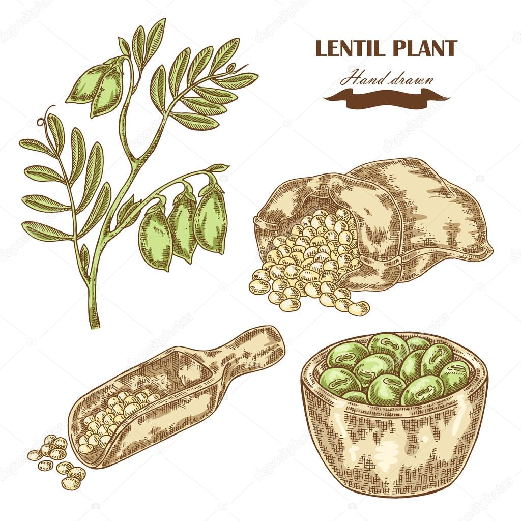 Hand drawn lentil plant. Wooden scoop with beans. Vector illustratoin