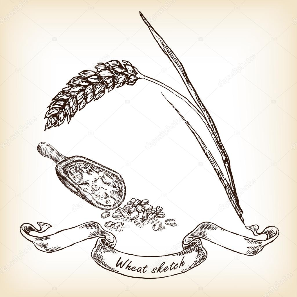 Hand drawn wheat and grain. Vector