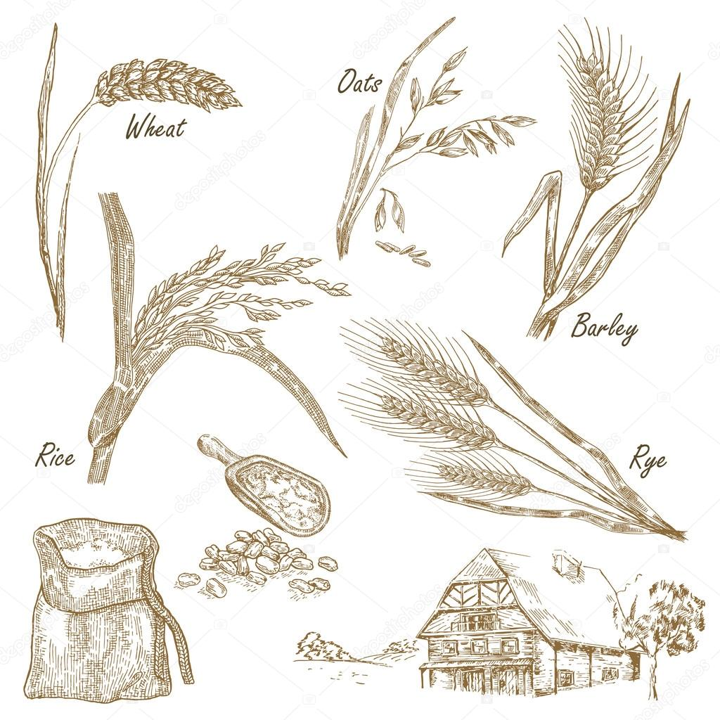 Wheat, rye, oats, barley, farm house in vintage style