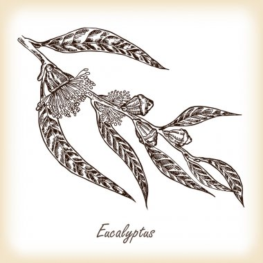 Eucalyptus leaves and flowers hand drawn. Vector