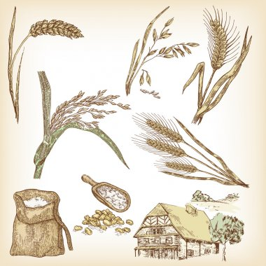 Wheat, rye, oats, barley, rice, farm house. Vector