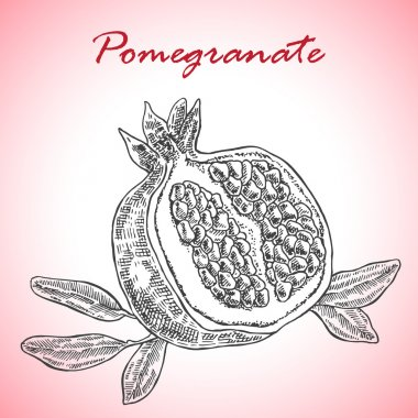 Highly detailed hand drawn pomegranate. Pomegranate fruit vector