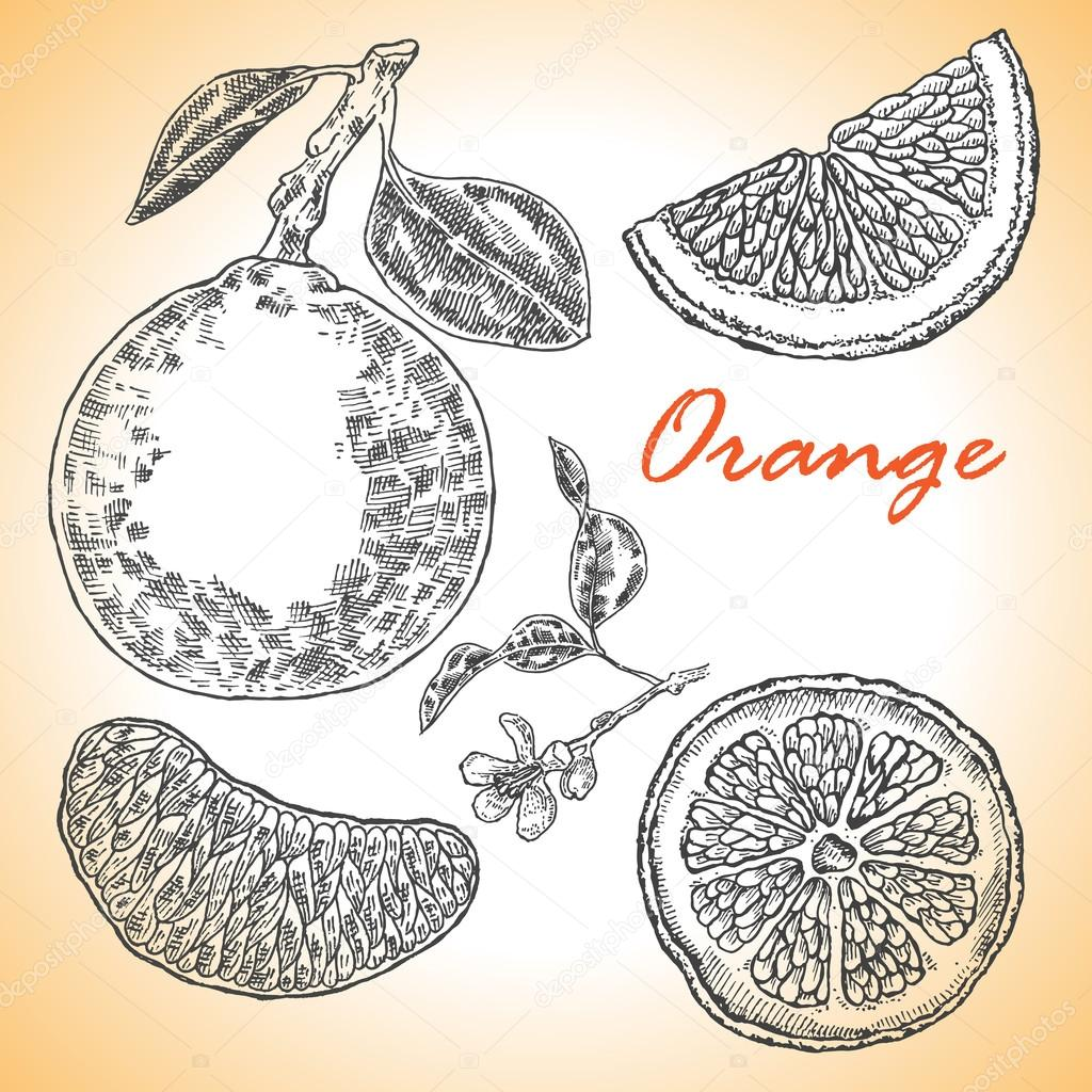 Collection of highly detailed hand drawn orange. Vector