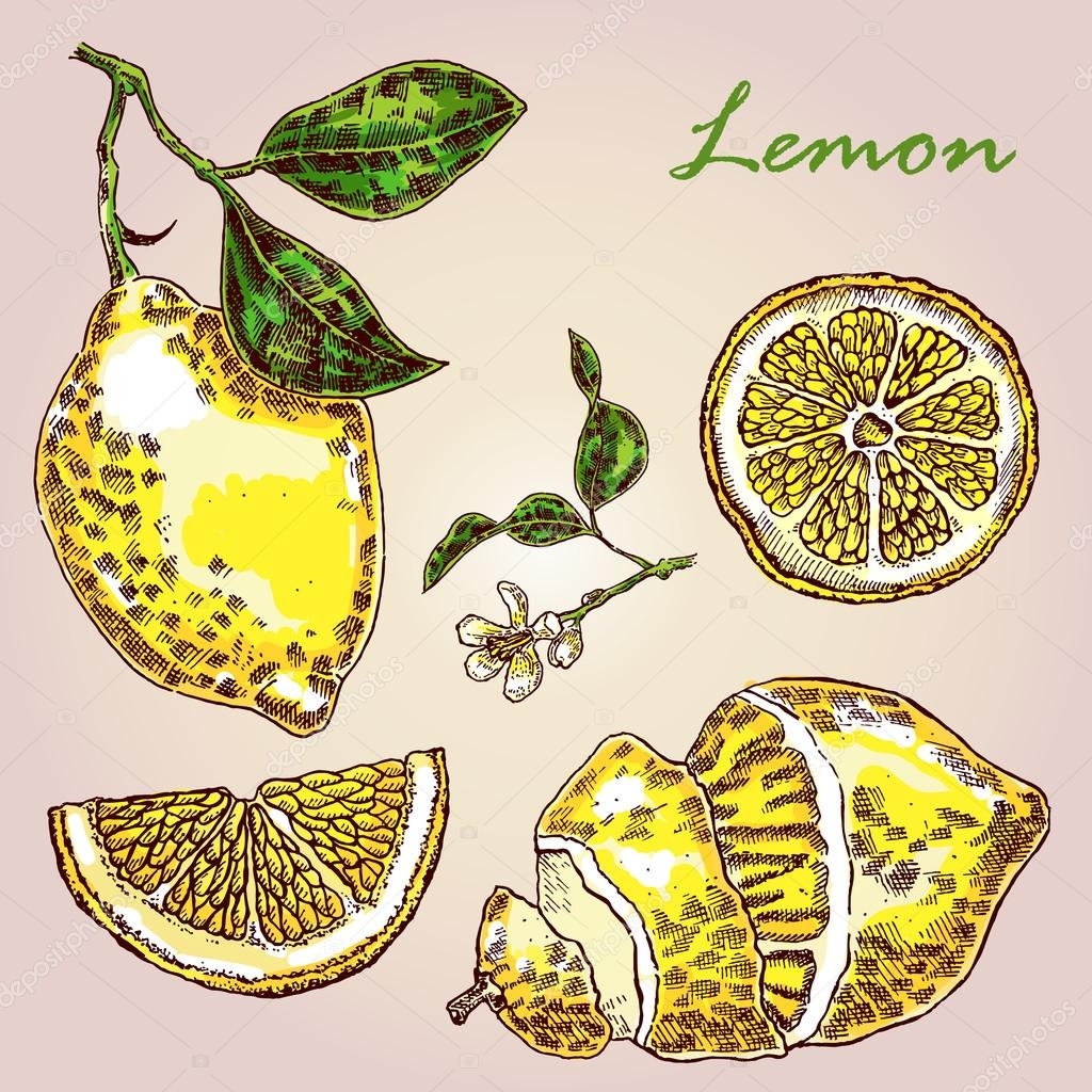 Collection of highly detailed hand drawn lemon. Fresh lemon vector