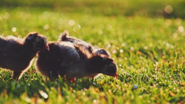 Malé dítě kuřata na zelené trávě